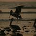 Os gigantes pelicanos. Aos milhares em Parakas