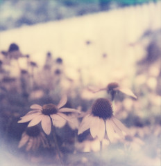 PX70 PUSH: Purple Coneflowers II