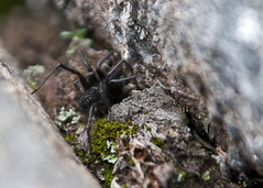 "NHME - wooly dark spider • <a style=""font-size:0.8em;"" href=""http://www.flickr.com/photos/30765416@N06/5930311233/"" target=""_blank"">View on Flickr</a>"
