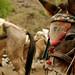 As mulas tambem trabalham pesado por aqui