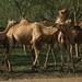 Tem agua ate pros camelos...