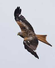 Red Kite (Mark Rivers Photography) Tags: hill redkite stokenchurch watlington