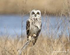 """Short- eared Owl""  ""Asio flammeus"" (jackhawk9) Tags: nature birds canon newjersey wildlife ngc raptor owl birdsofprey edwinbforsythenationalwildliferefuge shortearedowl asioflammeus jackhawk9"