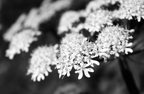 Umbelliferous flower in B&W by Helen in Wales