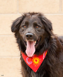 Ronan the dog is available for adoption from Nevada Humane Society