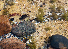 "NHME - sm crab in water • <a style=""font-size:0.8em;"" href=""http://www.flickr.com/photos/30765416@N06/5941291375/"" target=""_blank"">View on Flickr</a>"