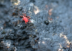 "NHME - red bug on rock • <a style=""font-size:0.8em;"" href=""http://www.flickr.com/photos/30765416@N06/5941329025/"" target=""_blank"">View on Flickr</a>"