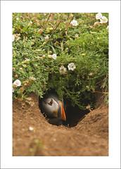 Puffin (Jamie Hall 78) Tags: uk summer portrait bird nature hall hole nest wildlife july overcast atlantic soil puffin emerging 78 dull burrow fraterculaarctica greatbritian 2011 skomer