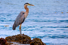 """Great Blue Heron"" - gravy604"