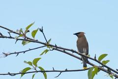 A Bohemian Waxwing Handing Out (Michael Garson) Tags: urban canada green bird nature nikon branch burnaby waxling