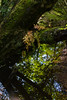 polypodium (Skink74) Tags: wood uk morning summer england fern reflection tree green 20d water forest river moss stream hampshire canoneos20d newforest damp polypodium highlandwater nikkor35f14 ocknellinclosure nikkor35mm114ai