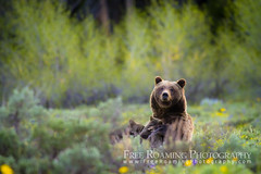Grizzly Bear #399 Nursing Cubs (Free Roaming Photography) Tags: summer usa baby west cute animal female mammal cub nationalpark spring babies adult wildlife young claw western northamerica nurse cubs wildflowers hungry feed wyoming endangered grizzly care moran grandteton nursing claws endangeredspecies grizzlybear grandtetonnationalpark nourishment 399 grizzlybearcubs 399nursing grizzlybear399 grizzlybearnursing