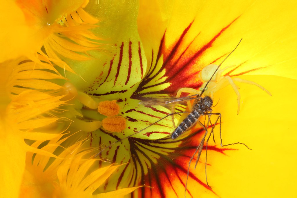 Crab spider with mosquito prey in a zucchini  flower. Winfield, B.C., Canada.