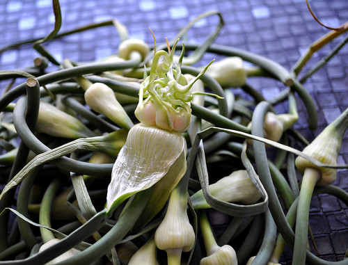Garlic Scapes Closeup