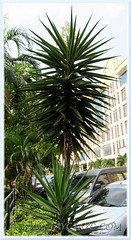 Flowering Yucca aloifolia (Spanish Bayonet, Aloe Yucca) and a juvenile plant beside it, at Cheras Business Centre, KL - July 4 2011