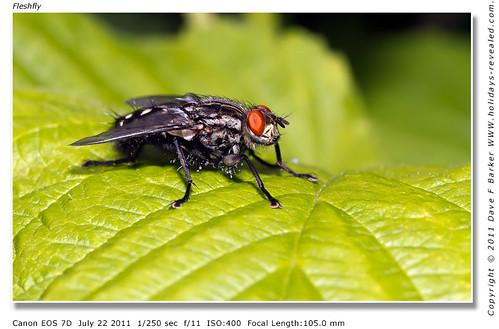 Flesh Fly Wheelton Chorley Lancashire