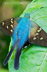 Urbanus (Primeval Nature) Tags: blue portrait southamerica nature vertical butterfly insect ecuador rainforest wildlife skipper butterflies insects lepidoptera cloudforest insecta hesperiidae mindo pichincha urbanus eudaminae