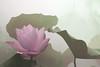 Lotus Flower - IMG_0294-1-1000 (Bahman Farzad) Tags: flower macro yoga peace lotus relaxing peaceful meditation therapy lotusflower lotuspetal lotuspetals lotusflowerpetals lotusflowerpetal
