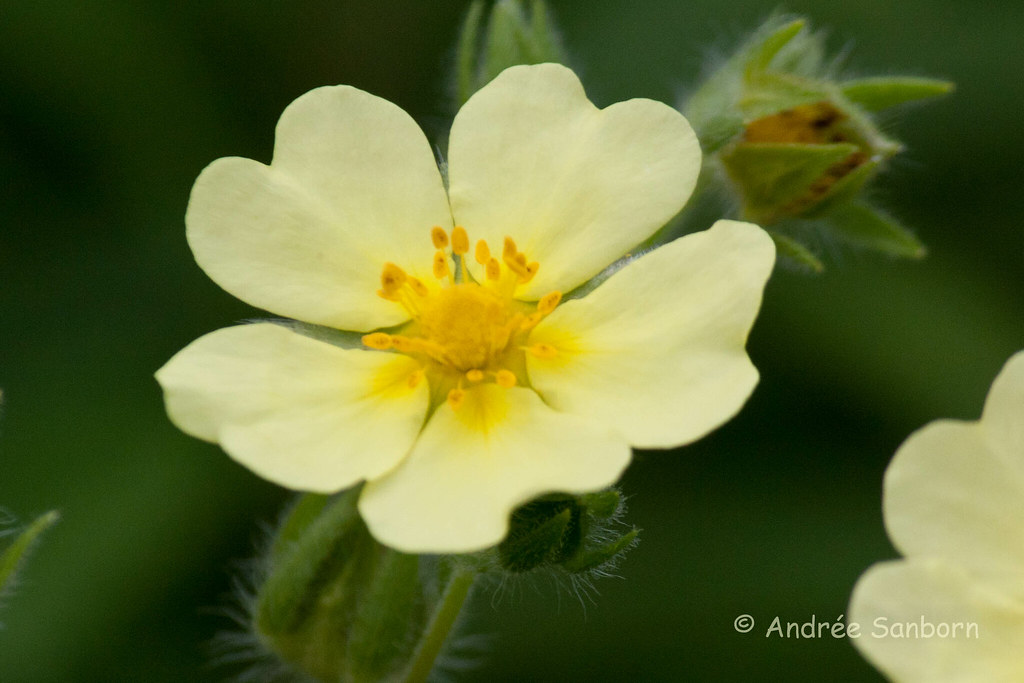 Rough-fruited Cinquefoil (Potentilla recta)-2.jpg