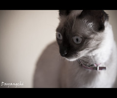 La gata (dayangchi) Tags: animal blanca gata felino curiosa siamesa ltytr2 ltytr1 ltytr3 dayangchi