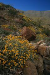 AB Desert mid april 2 (scun11) Tags: california statepark park ca flowers blue sky plants color green nature yellow rock canon landscape spring desert sandiego bloom anzaborrego