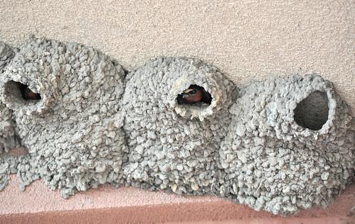 Colony of Bird Nests Made of Mud