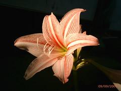 PIC_0094 (Nuraishah Bazilah binti Affandi) Tags: sunset wallpaper flower nature newspaper flora unknown species bunga unidentified matahari surat taxonomy akhbar khabar terbenam
