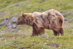 thorofare bear_MG_9222 (bud_marschner) Tags: bear brown alaska denali grizzlybear