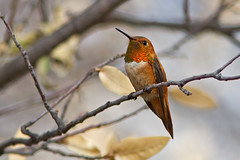 IMG_1261 Rufous Hummingbird (lois manowitz) Tags: arizona birds hummingbirds ashcanyonbb
