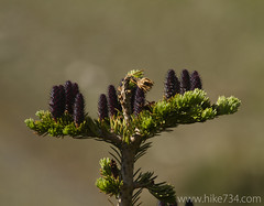 "Subalpine Fir Pinecones • <a style=""font-size:0.8em;"" href=""http://www.flickr.com/photos/63501323@N07/5982787200/"" target=""_blank"">View on Flickr</a>"