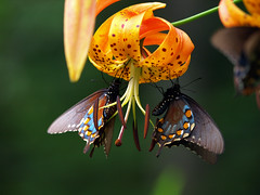 Turks Cap Lilies (Lilium Superbum) & Pipevine Swallowtail Butterflies (Lonnie Crotts) Tags: