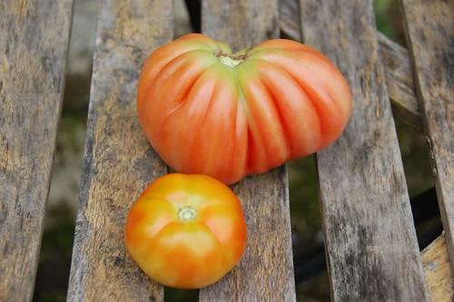 Tomatoes - Beefsteak (HDRA) and Coeur de Boeuf
