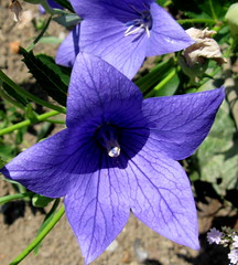 """Blue Balloon"" by My Lovely Wife (Puzzler4879) Tags: flowers gardens statenisland botanicalgardens pointshoot canonpowershot musictomyeyes blueflowers balloonflowers statenislandbotanicalgarden canondigital canonaseries floralfantasy canonphotography perfectpetals canonpointshoot a580 wwof wonderfulworldofflowers exquisiteflowers canona580 powershota580 awesomeblossoms theflowerbasket floralfantasia handselectedphotographs mamasbloomers naturescarousel mygearandme level1photographyforrecreation level2photographyforrecreation"