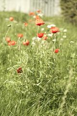 Poppy (Cecilia Adolfsson) Tags: red summer white flower green grass sweden poppy malmo sommar vallmo skane husie