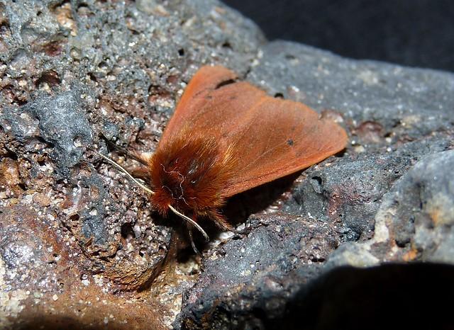 Ruby Tiger Moth (Phragmatobia fuliginosa)