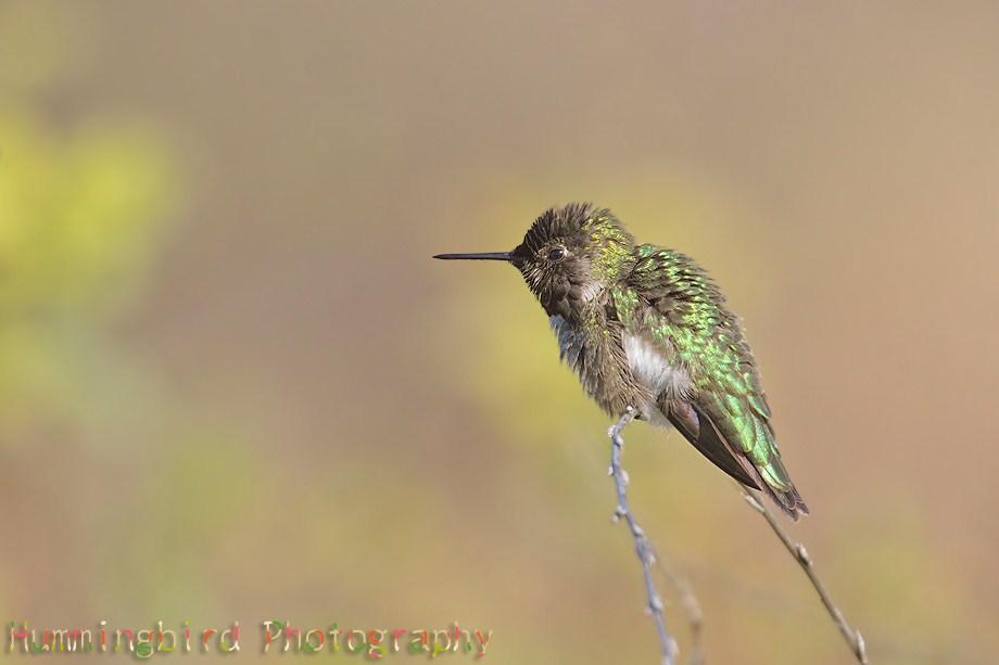 Anna's Hummingbird 0211 at spring