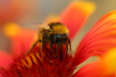 Bonjour Bee (unluckypixie) Tags: red orange flower macro bee