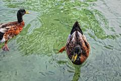 Estanque del Hotel (JC Arranz) Tags: hotel estanque turismo puntacana republicadominicana patos caribe