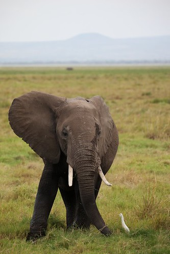 Elephant in Amboseli National Park, Kenya