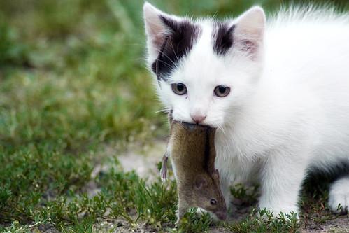 フリー写真素材, 動物, 哺乳類, 猫・ネコ, 鼠・ネズミ,