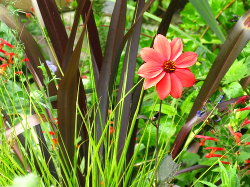 My favorite dahlia this year, although it only makes one or two flowers at a time, with Phormium 'Black Adder' and Stipa arundinacea.