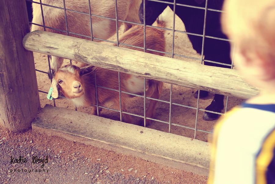 baby-goat