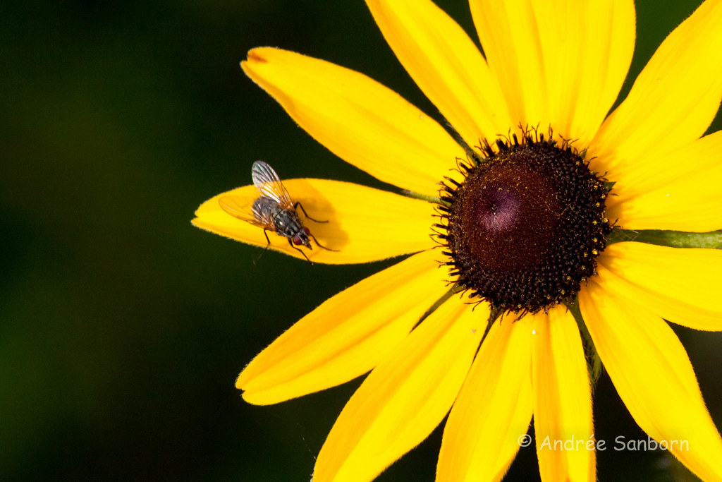 Flesh Fly on Black-eyed Susan-3.jpg
