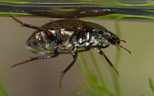 Hydrobius fuscipes - a scavenger water beetle best at surface