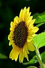 Aug032011_0919-Yellow-Sunflower (©Delos Johnson) Tags: flowers canon garden sunflower topaz delos g9 detail4 denoise