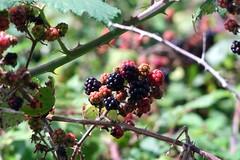 Wild Blackberries at Beauport