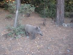 IMG_2446 (Egemen Akbudak) Tags: karasu millipark domuz güzelçamlı