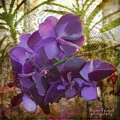 Elegance (Kerstin Frank art) Tags: texture photoshop decorative manipulation phalaenopsis filter elegance orkide