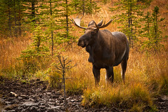 Moooo...ssseee (JoLoLog) Tags: canada wildlife joe moose alberta rockymountains bullmoose kananaskiscountry canadianrockies upperkananaskislake canonxsi
