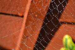 watered web (Sophie Benton Photography) Tags: summer brown sun green nature wet water lines garden spider droplets natural wildlife web spiderweb sunny cobweb silks spidersilk coppe